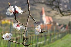 Landhaus Smöch - Marillenblüten